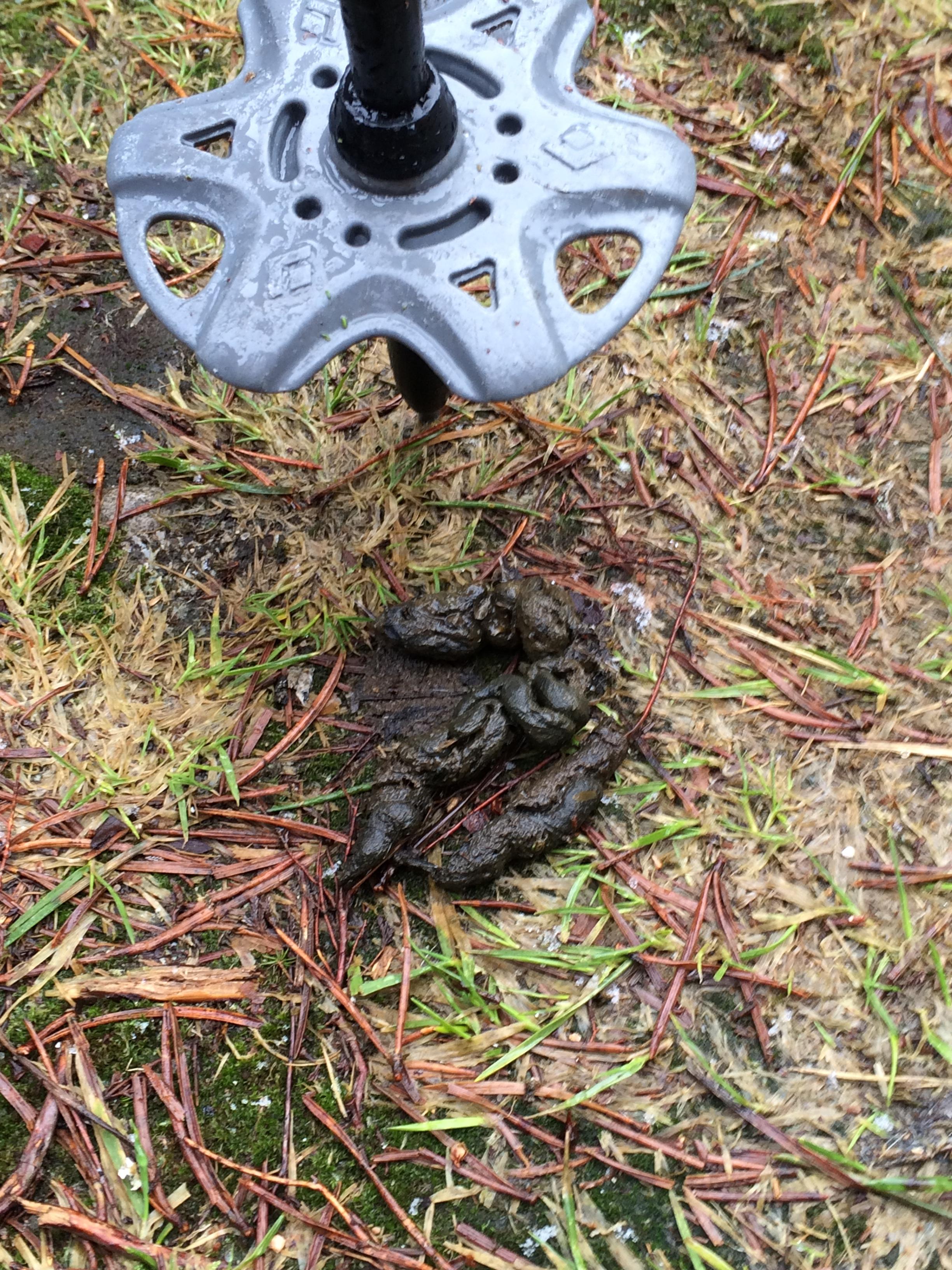 This is pine marten poo