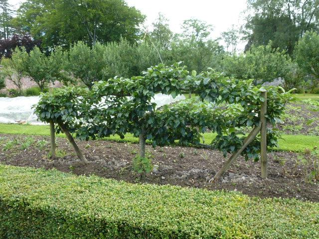Apple trees espaliered