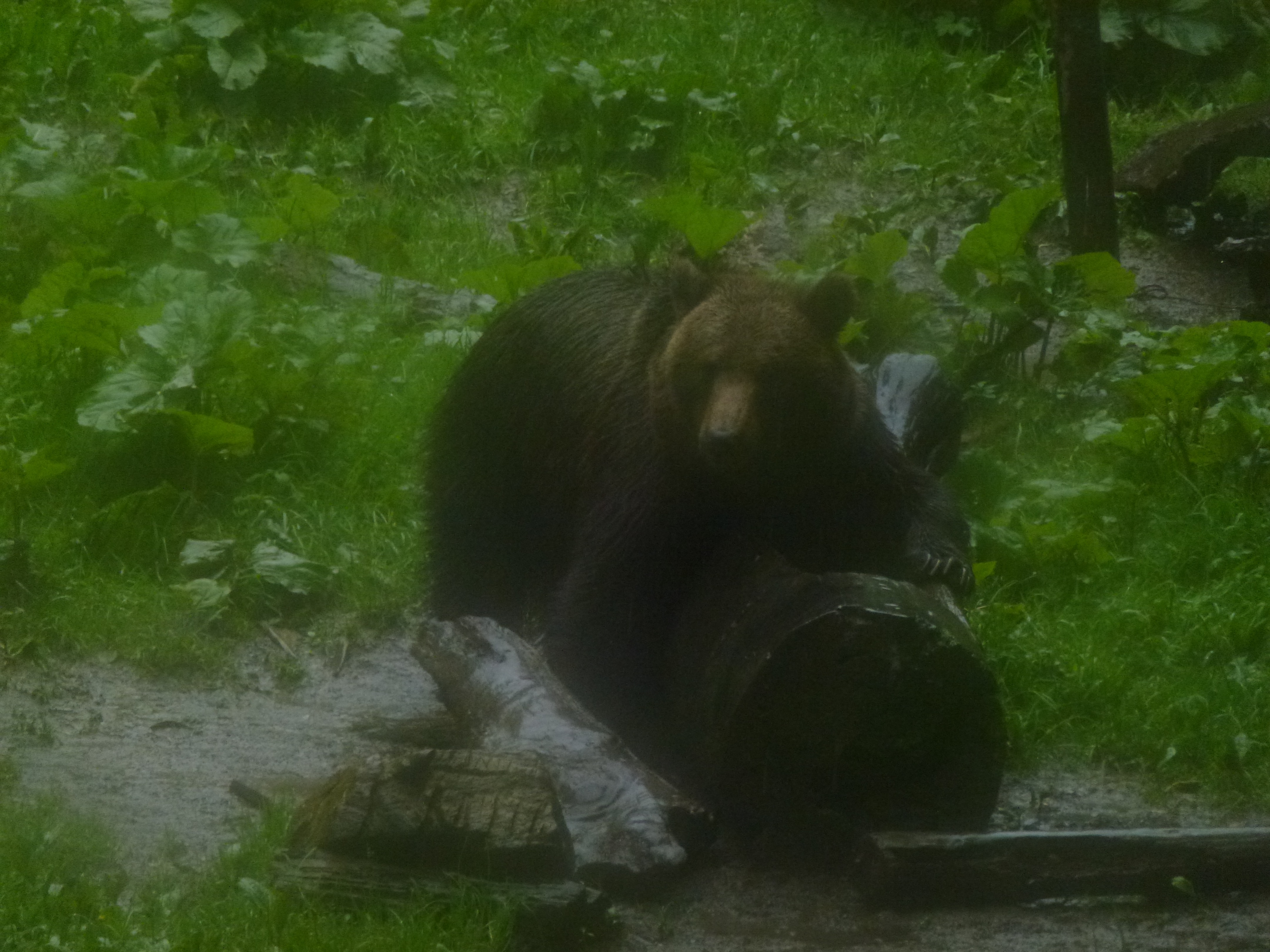 First bear, window still a bit steamed up